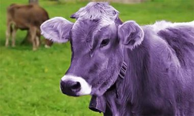 Be-a-the-Purple-Cow-Featured-Image